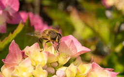 Ένα Hoverfly σε ένα λουλούδι Στοκ φωτογραφία με δικαίωμα ελεύθερης χρήσης