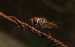 Ένα Hoverfly σε ένα σκουριασμένο καλώδιο Στοκ Εικόνα
