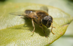 Ένα Hoverfly Στοκ εικόνες με δικαίωμα ελεύθερης χρήσης