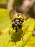 Ένα Hoverfly Στοκ Φωτογραφία