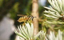 Ένα Hoverfly Στοκ Εικόνες