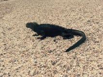 Ένα iguana θάλασσας στοκ εικόνες με δικαίωμα ελεύθερης χρήσης