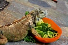 Ένα iguana που τρώει μια σαλάτα Στοκ εικόνες με δικαίωμα ελεύθερης χρήσης