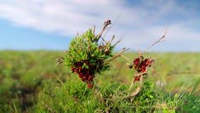 Ένα ladybug σε έναν πράσινο κλάδο με το φύλλωμα απόθεμα βίντεο