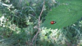 Ένα ladybug τρέχει σε ένα φύλλο στοκ φωτογραφία