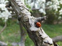 Ένα ladybug Στοκ εικόνα με δικαίωμα ελεύθερης χρήσης