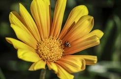 Ένα ladybug Στοκ φωτογραφία με δικαίωμα ελεύθερης χρήσης