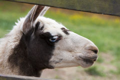 Ένα llama Guanako (λάμα guanicoe) Στοκ φωτογραφίες με δικαίωμα ελεύθερης χρήσης