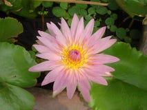 Ένα Lotus είναι ρόδινο στοκ φωτογραφίες με δικαίωμα ελεύθερης χρήσης