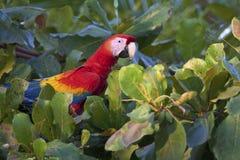 Ένα macaw περπατά μεταξύ των φύλλων Στοκ Φωτογραφίες
