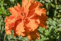 Ένα marigold λουλούδι στον κήπο Στοκ εικόνα με δικαίωμα ελεύθερης χρήσης