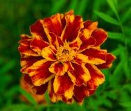Ένα marigold λουλούδι Στοκ φωτογραφία με δικαίωμα ελεύθερης χρήσης