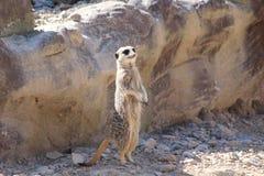 Ένα meercat Στοκ εικόνα με δικαίωμα ελεύθερης χρήσης