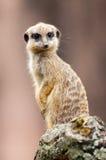 Ένα meerkat κάθεται στο ξύλο Στοκ εικόνα με δικαίωμα ελεύθερης χρήσης