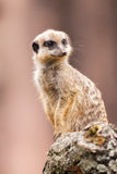 Ένα meerkat κάθεται στο ξύλο Στοκ φωτογραφία με δικαίωμα ελεύθερης χρήσης