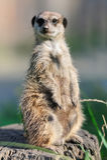 Meerkat που στέκεται κατακόρυφα και που φαίνεται άγρυπνο Στοκ εικόνες με δικαίωμα ελεύθερης χρήσης
