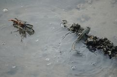 Ένα Mudskipper και ένα καβούρι στηρίζονται στο νερό, στοκ φωτογραφία