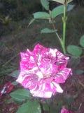 Ένα neatural ροδαλό λουλούδι Στοκ φωτογραφία με δικαίωμα ελεύθερης χρήσης