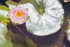 Ένα Nymphaea ` κα Richmond ` Waterlily με τα μαξιλάρια κρίνων στοκ εικόνες