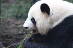 Ένα panda Στοκ φωτογραφίες με δικαίωμα ελεύθερης χρήσης