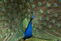 Ένα peacock στην υπερηφάνειά του στοκ φωτογραφίες