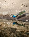 Ένα peacock, το εθνικό πουλί της Ινδίας σε μια λίμνη Στοκ εικόνα με δικαίωμα ελεύθερης χρήσης