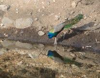 Ένα peacock, το εθνικό πουλί της Ινδίας σε μια λίμνη Στοκ φωτογραφίες με δικαίωμα ελεύθερης χρήσης