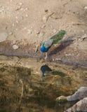 Ένα peacock, το εθνικό πουλί της Ινδίας σε μια λίμνη Στοκ Φωτογραφία