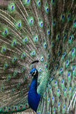 Ένα Peacock Στοκ Φωτογραφίες
