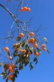 ένα persimmon δέντρο Στοκ φωτογραφία με δικαίωμα ελεύθερης χρήσης