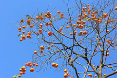 ένα persimmon δέντρο Στοκ Φωτογραφία