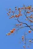 ένα persimmon δέντρο Στοκ Εικόνες