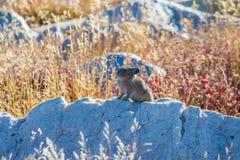 Ένα pika κάθεται πάνω από έναν λίθο στο φως του ήλιου απογεύματος στοκ εικόνα