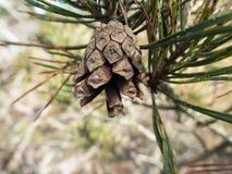 Ένα pinecone Στοκ Εικόνες