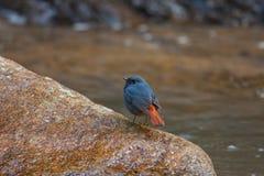 Ένα Plumbeous Redstart στην πέτρα Στοκ Εικόνες