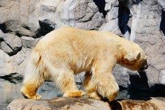 Ένα polor αντέχει στο ζωολογικό κήπο στοκ εικόνες