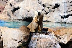 Ένα polor αντέχει στο ζωολογικό κήπο στοκ φωτογραφίες με δικαίωμα ελεύθερης χρήσης