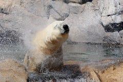 Ένα polor αντέχει το νερό από το κεφάλι του στο ζωολογικό κήπο στοκ φωτογραφίες με δικαίωμα ελεύθερης χρήσης