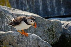 Ένα puffin που παίρνει έτοιμο να πηδήσει Στοκ Εικόνες