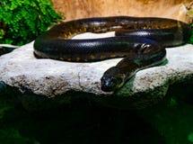 Ένα python κοιτάζει στη κάμερα στοκ εικόνες με δικαίωμα ελεύθερης χρήσης