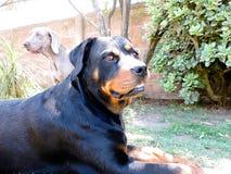 Ένα Rottweiler και ένα Weimaraner Στοκ Εικόνες