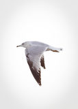Ένα seagull κατά την πτήση Στοκ φωτογραφία με δικαίωμα ελεύθερης χρήσης