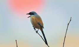 Ένα Shrike στο ηλιοβασίλεμα Στοκ εικόνες με δικαίωμα ελεύθερης χρήσης