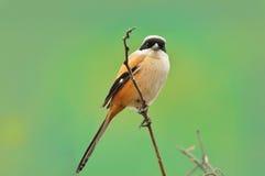 Ένα Shrike την άνοιξη στοκ φωτογραφία με δικαίωμα ελεύθερης χρήσης