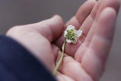 Ένα snowdrop σε ένα χέρι ατόμων Στοκ Φωτογραφίες