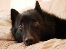 Ένα thoughful μαύρο σκυλί Στοκ εικόνα με δικαίωμα ελεύθερης χρήσης