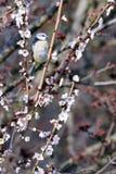 Ένα tom tit cyanistes caeruleus εσκαρφάλωσε στους κλάδους ενός δέντρου Στοκ φωτογραφίες με δικαίωμα ελεύθερης χρήσης