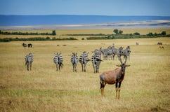 Ένα topi Antilope στην επιφύλαξη παιχνιδιού Masai Mara στην Κένυα, Αφρική Στοκ Φωτογραφία