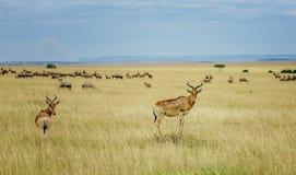 Ένα topi Antilope στην επιφύλαξη παιχνιδιού Masai Mara στην Κένυα, Αφρική Στοκ Εικόνα