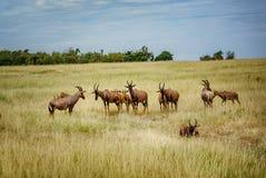 Ένα topi Antilope στην επιφύλαξη παιχνιδιού Masai Mara στην Κένυα, Αφρική Στοκ φωτογραφία με δικαίωμα ελεύθερης χρήσης